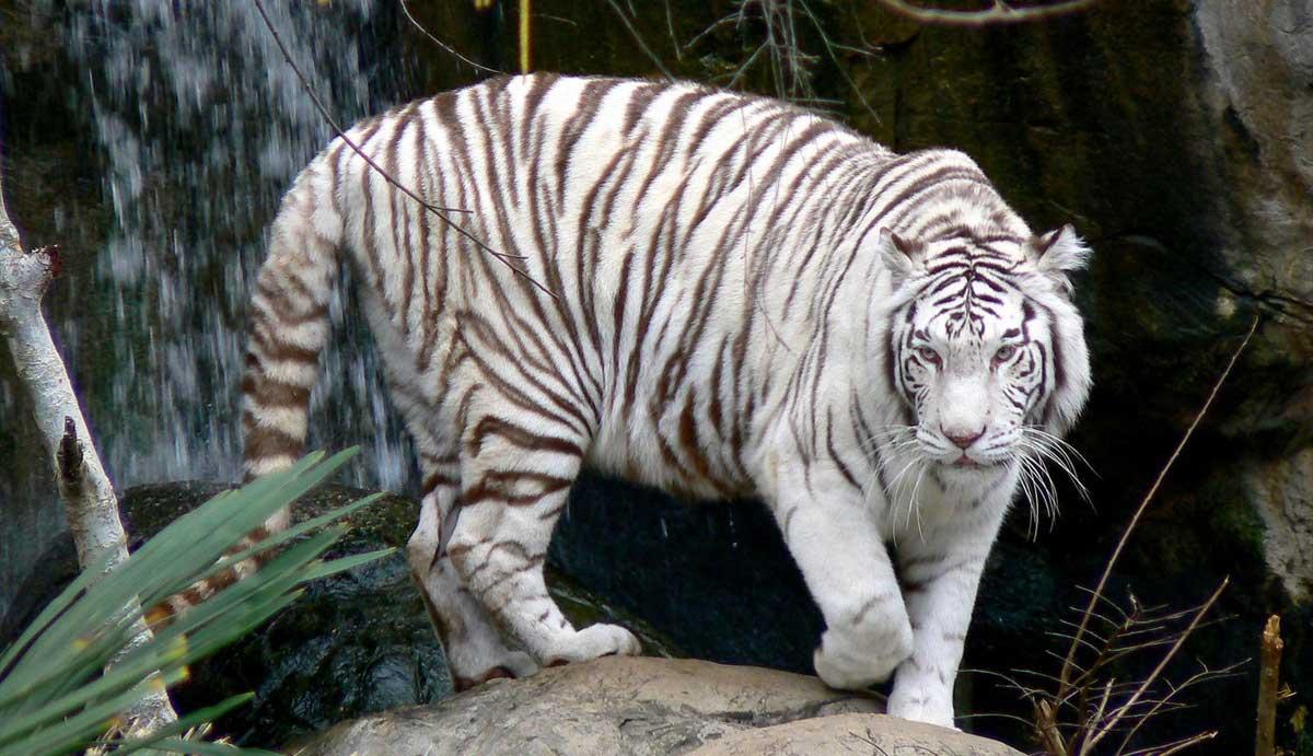 Save White Tiger